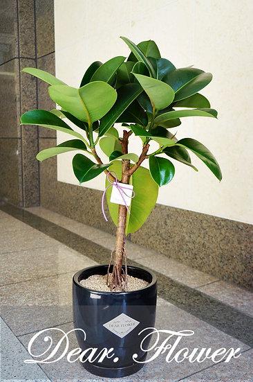 인도고무나무(중형)