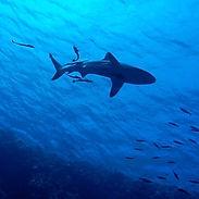 shark-2683184_1920.jpg
