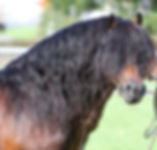 Equine Dartmoor stallion.jpg