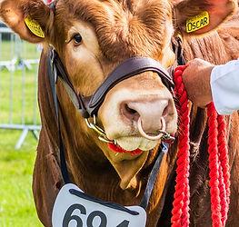 Cattle bull (2).jpg