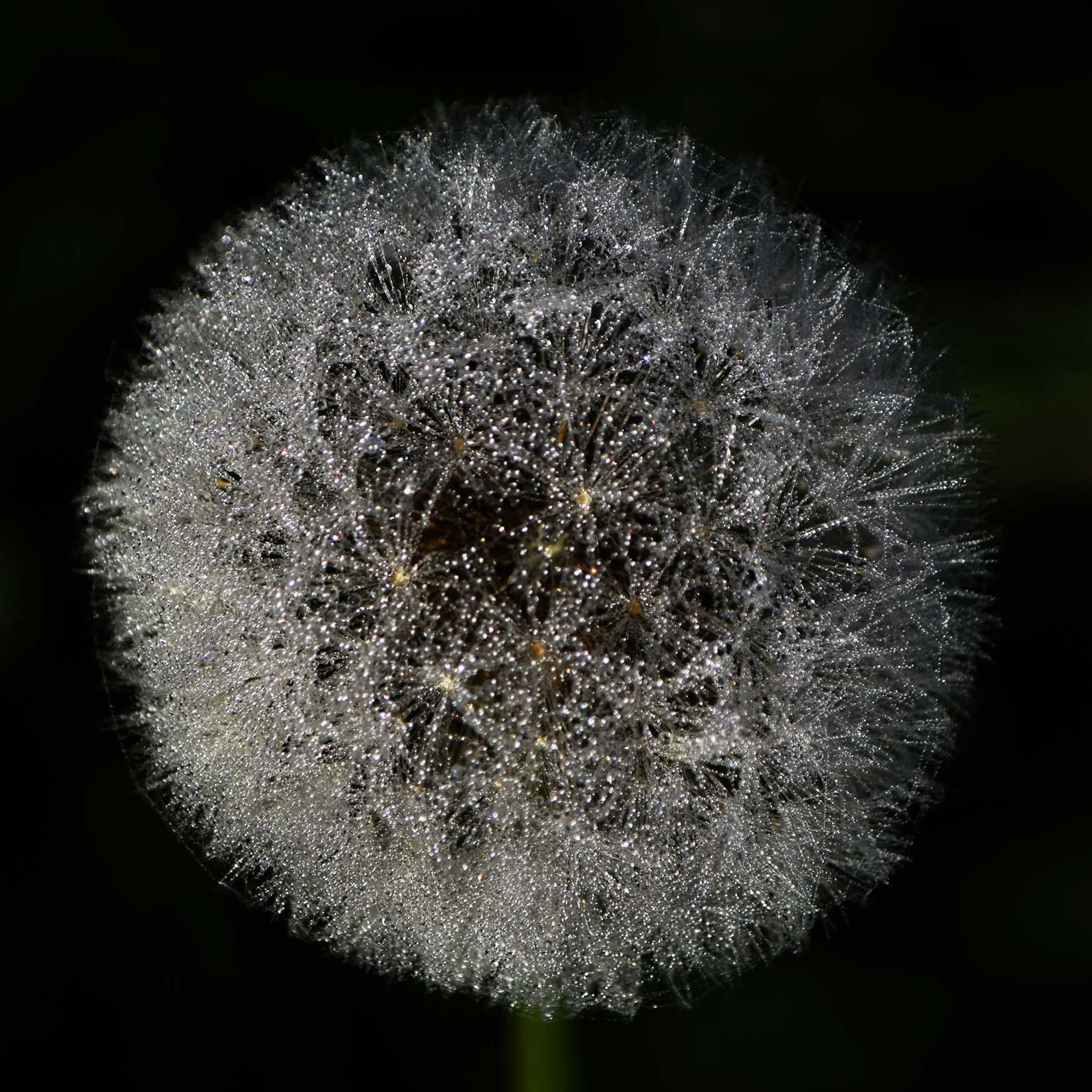 W11 Dandelion