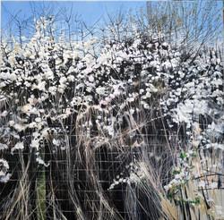 New 'Hawthorn in Flower'