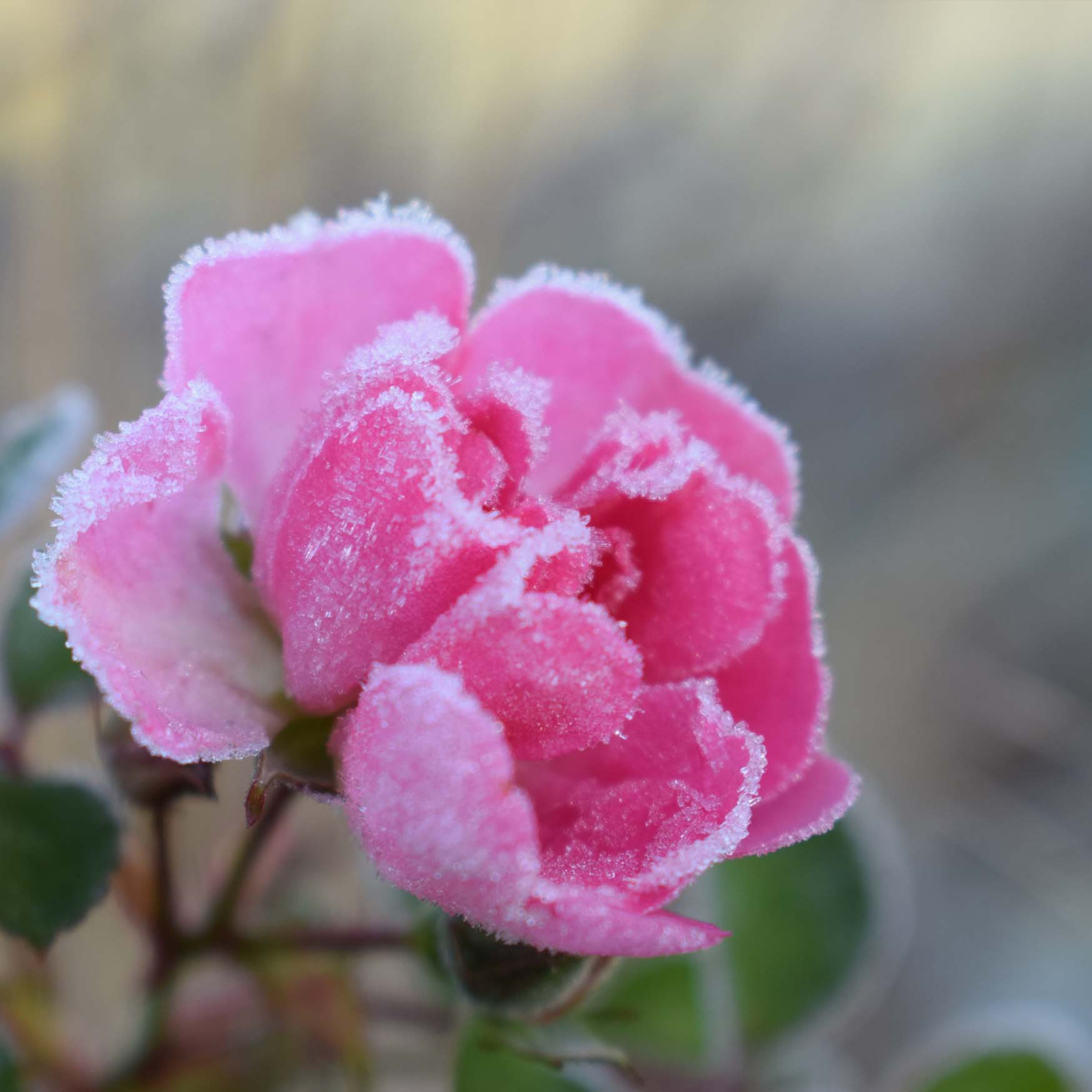 W8 Frozen Rose