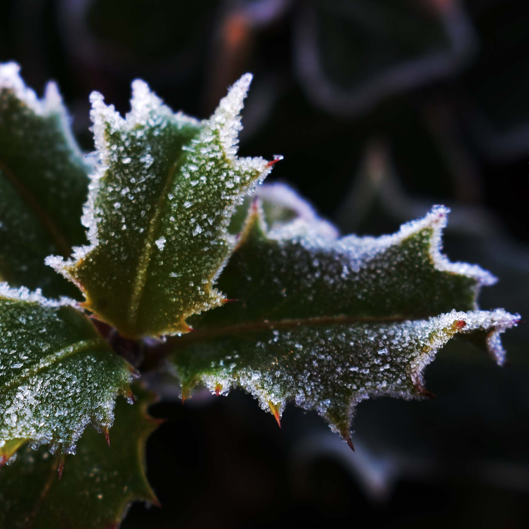W10 Frosty Holly (2)