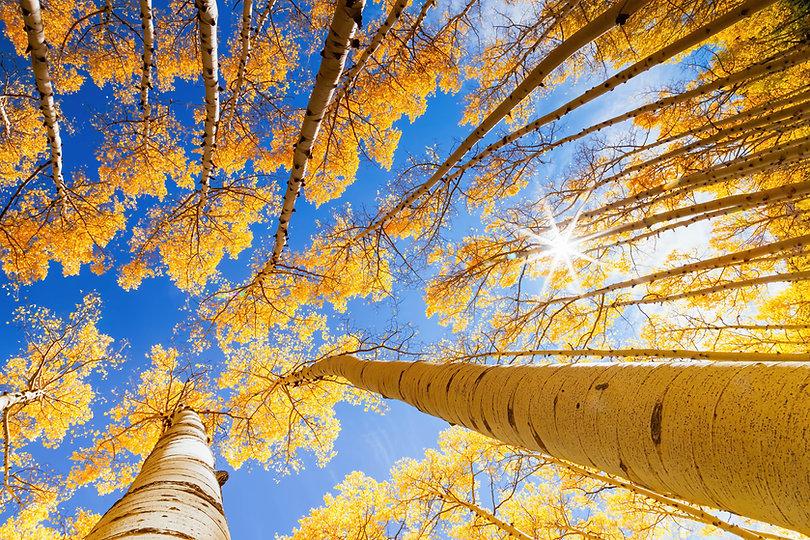 Sun shining through the aspen trees.jpg
