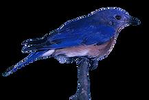Eastern_bluebird_web.png