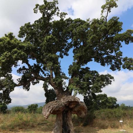 Arburacellu, l'arbre-oiseau