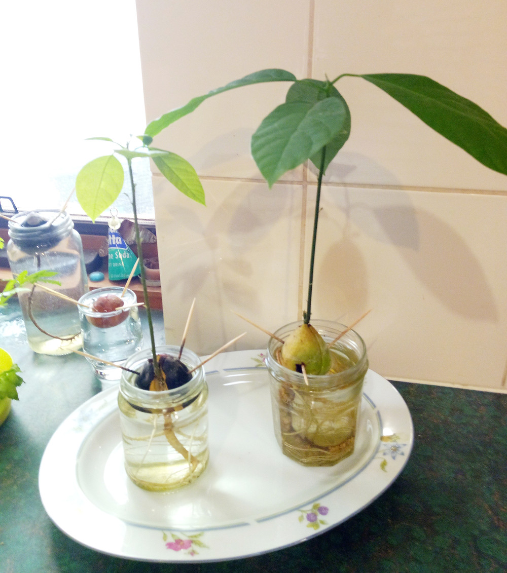 Growing a plant from an avocado seed