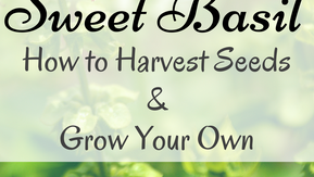 How To Harvest Basil Seeds