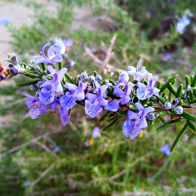 Flowering Rosemary attracts bees