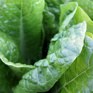 Leafy Greens, great for chooks