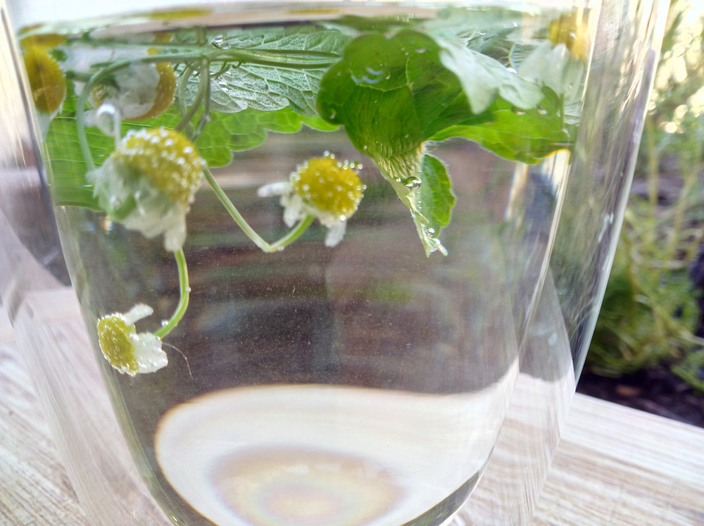 Brewing Chamomile Flowers and lemon balm