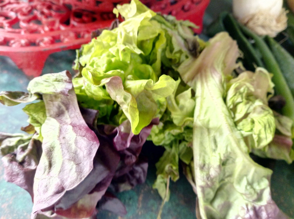 Wilted Lettuce