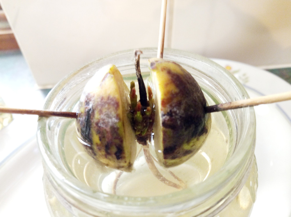 avocado seed splitting and forming first shoots