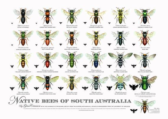 Native Australian Bee Poster