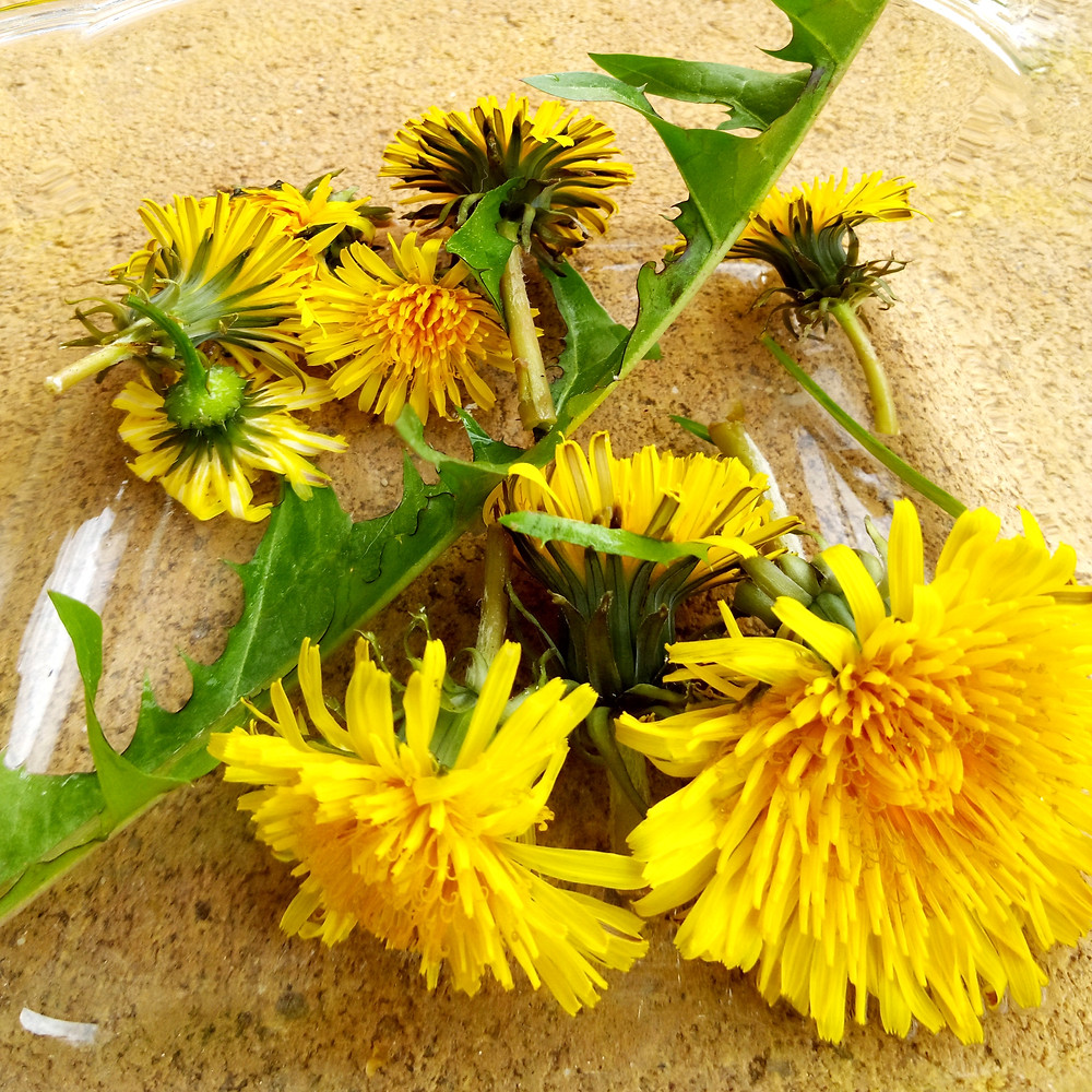 collection of dandelion flowers from my backyard