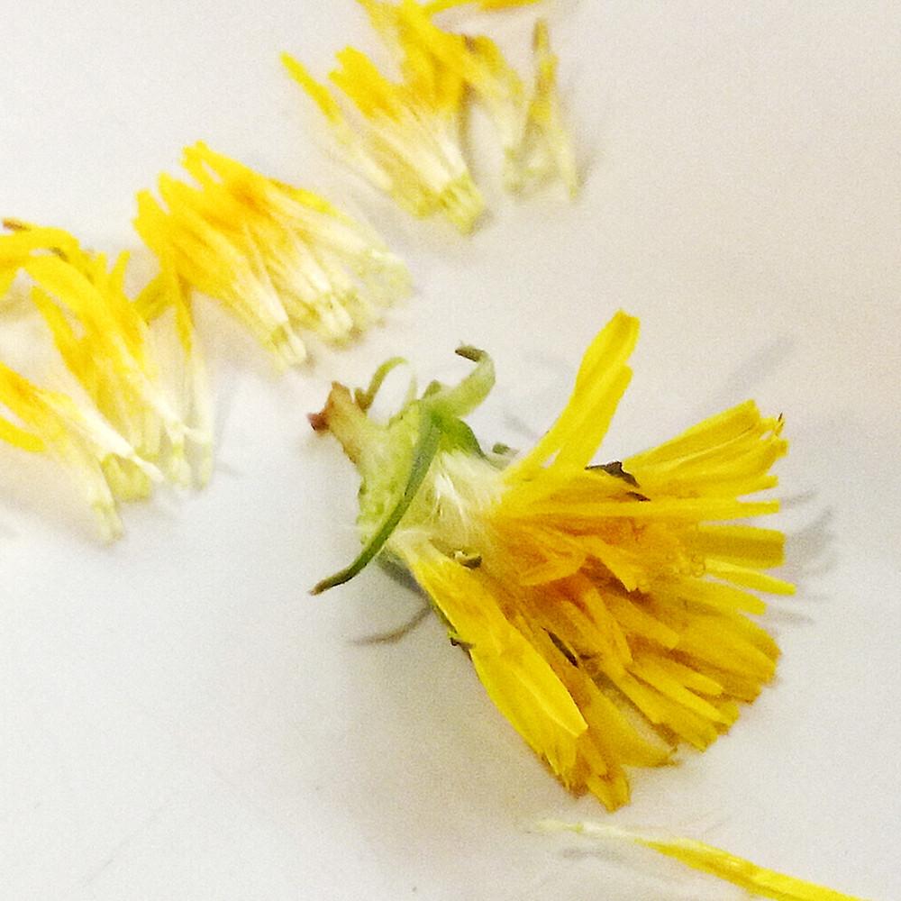 preparing dandelion flowers for drying
