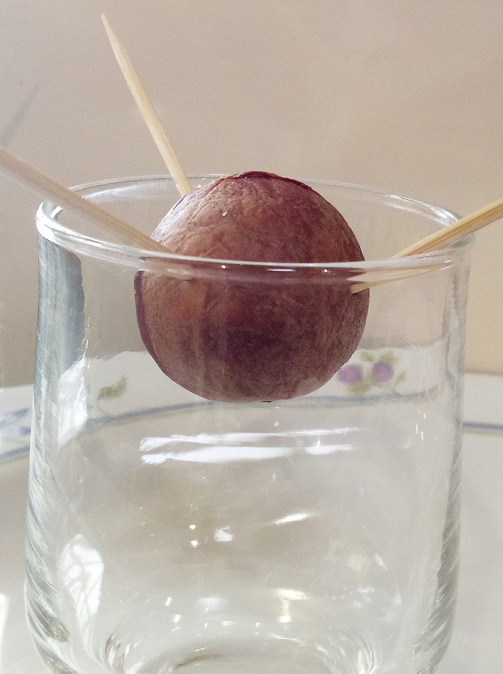 how much your avocado seed needs to be in water