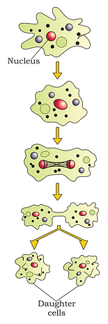 Binary fission.png