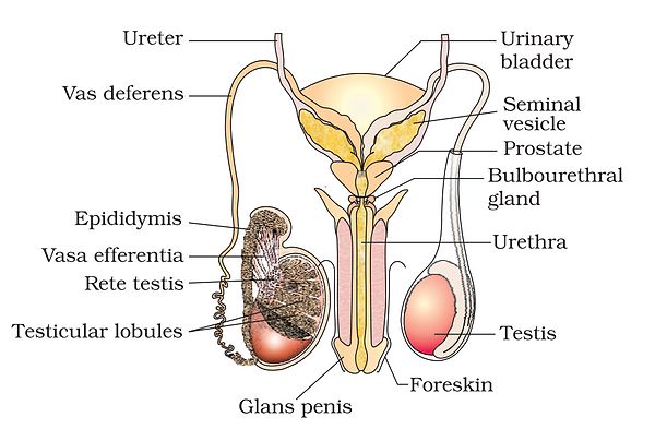 Male Reproductive Structure 1.png