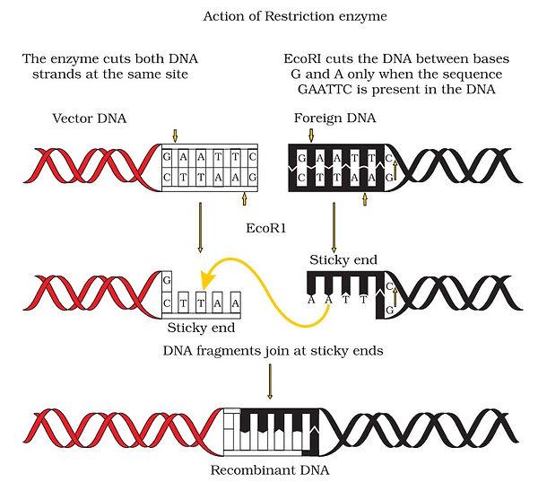 rDNA.jpg