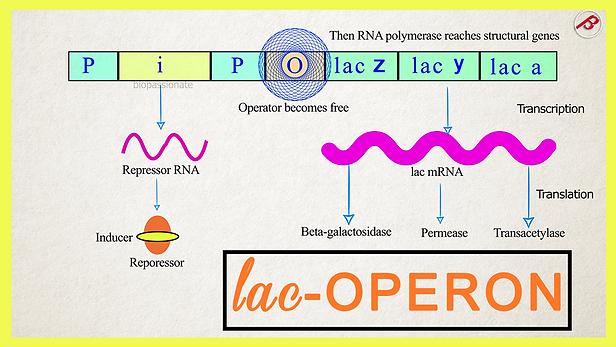 lac operon@0.75x.png