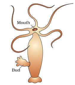 Budding Hydra.png