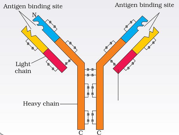 Antibody Molecule.png