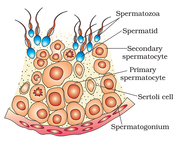 Seminiferous tubules 1.png
