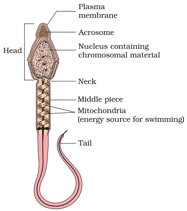 Sperm 1.png