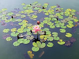 waterlily-458227_960_720.jpg