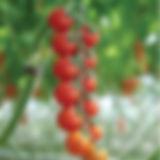 0006535_tomate-sakura-biologique_550.jpe