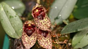 Bulbophyllum---The biggest genus of Orchidaceae