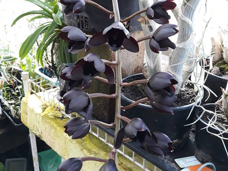 The black Orchid--Fredclarkeara After Dark