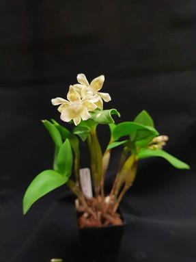 Dendrobium Micro Chip (aberrans x normanbyense)