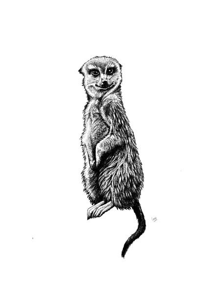 Sassy Meerkat