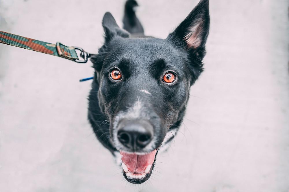 Happy dog on walk smiling up at camera