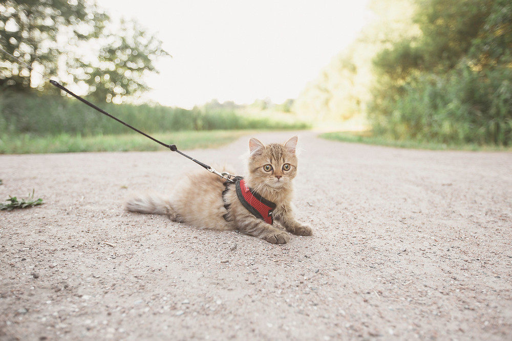 Small cat on harness lying on gravel road