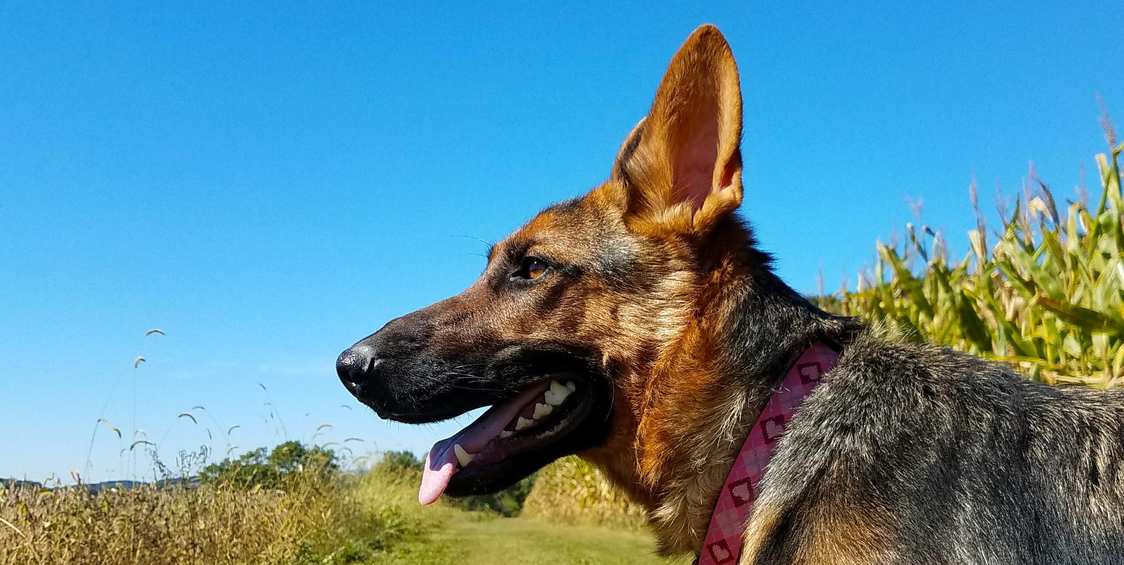 Char-Wills German Shepherd Rescue | Pennsylvania