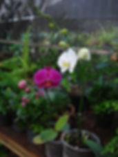 Orquídea Phalaenopsis Estação Verde Paisagismo e Jardinagem