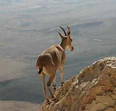 Desert Ibex - wix picture