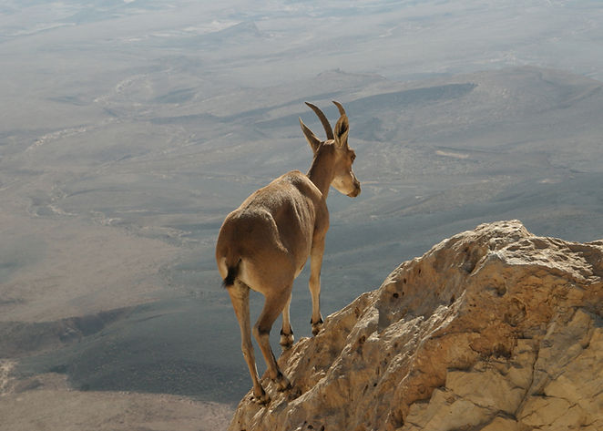 Desert Ibex