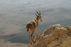 Celestial Goat