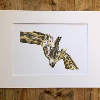 giraffes mount a4.jpg