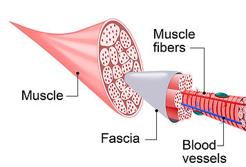 Fascia covered by muscle fibers