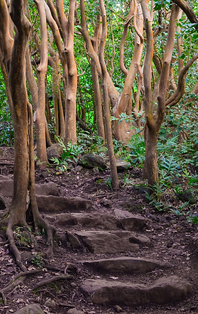MauiTrees_w_Steps.png