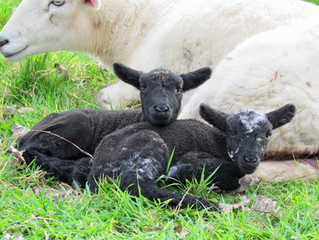 Sheep diaries - Our first lambs