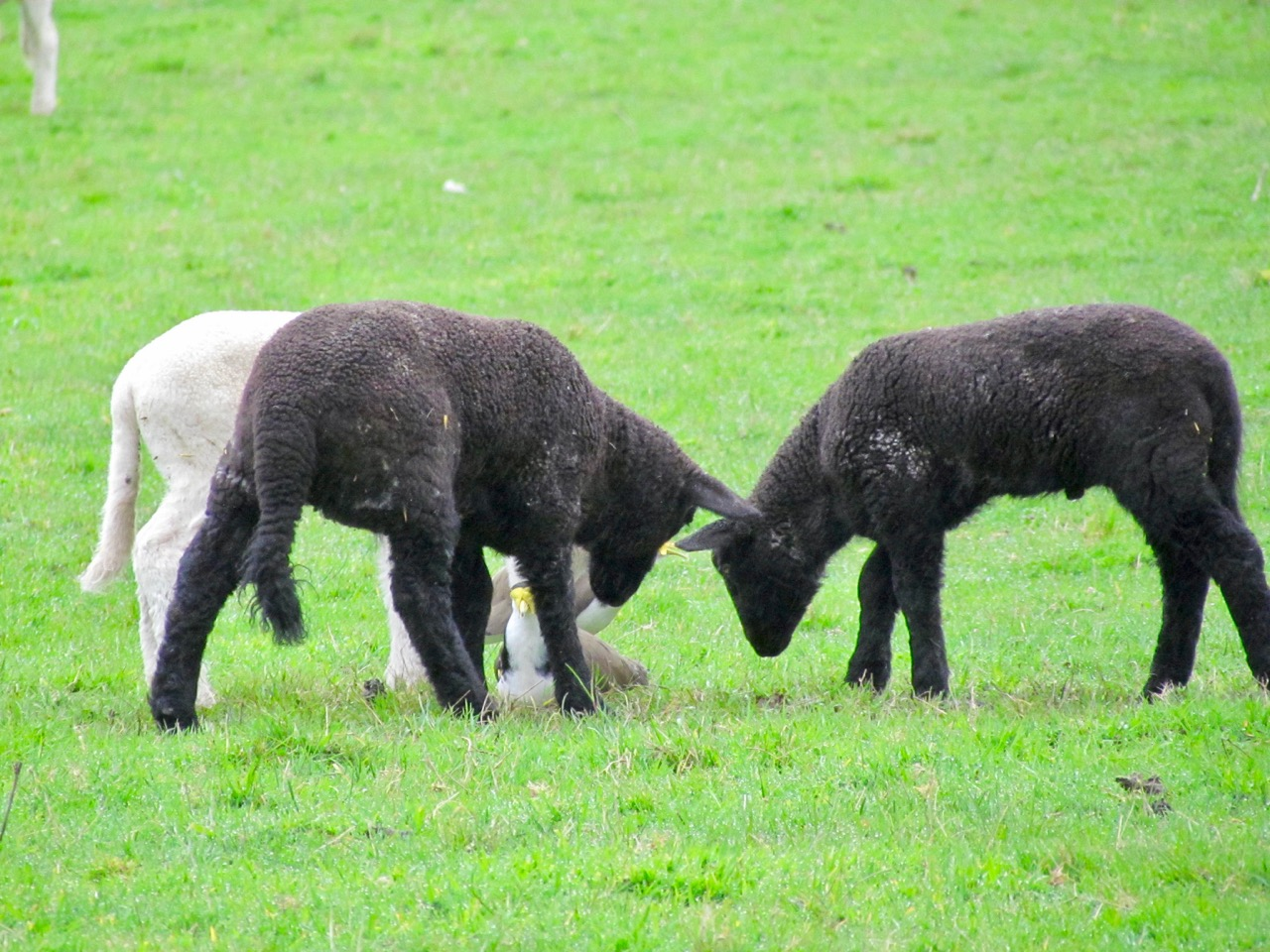 3 lambs and plover
