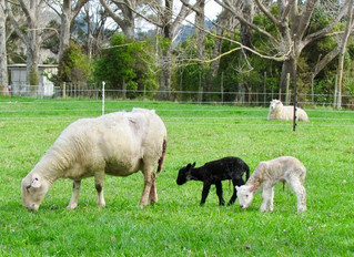 Sheep diaries: Not so black & white