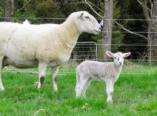 Sheep diaries: An exposition on bouncing